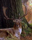 Fallow_Deer_Stag